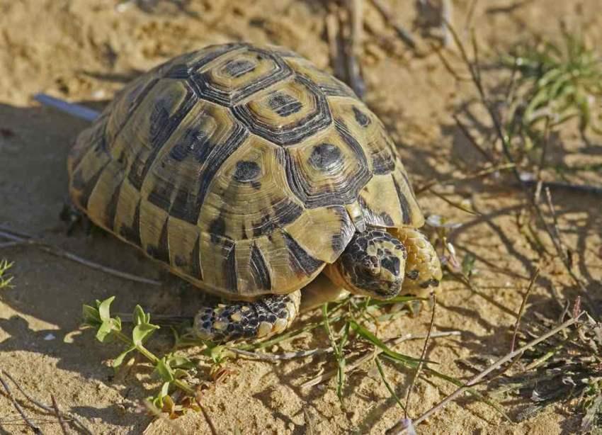Testudo graeca furculachelys nabeulensis for Temperatura tartarughe
